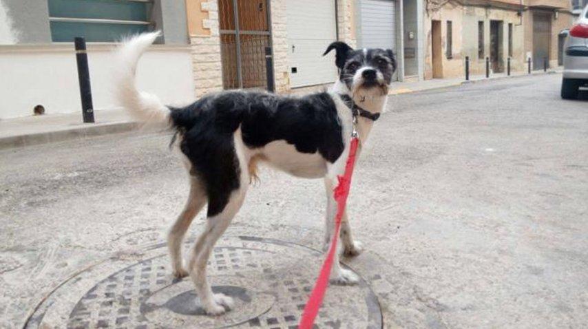 El perro ha sobrevivido a la intoxicación de psicofármacos (Sociedad Protectora de Animales de Burjassot)