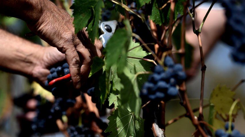 La cosecha de la uva sangiovese, de la que nace el Chianti<br>