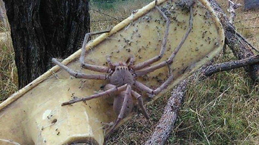 Una araña gigante sorprendió en Australia - Crédito: 9 News Perth