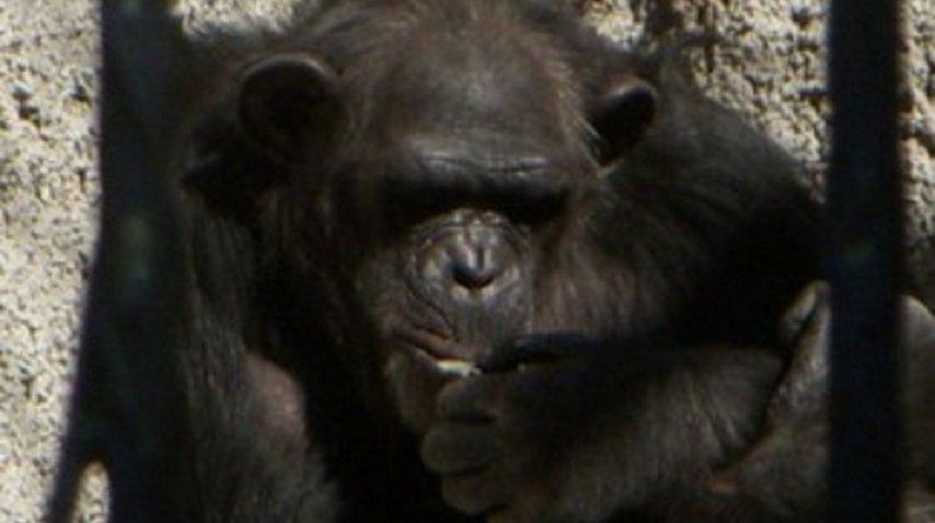 La chimpancé Cecilia está en el Zoológico de Mendoza y será trasladada a un santuario en Brasil - Crédito: www.mdzol.com