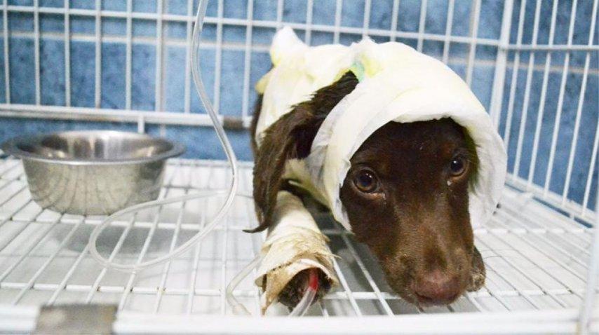 Murió Chocolate, el perro que fue despellejado y tirado en la calle