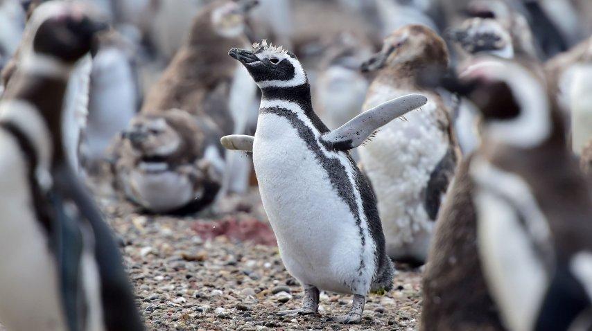 Los pingüinos llegaron a Punta Tombo para aparearse<br>