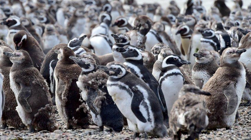 Los pingüinos más jóvenes ya están cambiando las plumas<br>