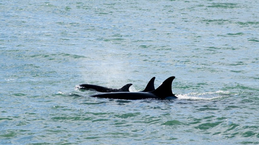 <p>Temporada de avistaje de orcas en Península de Valdés</p><p></p>