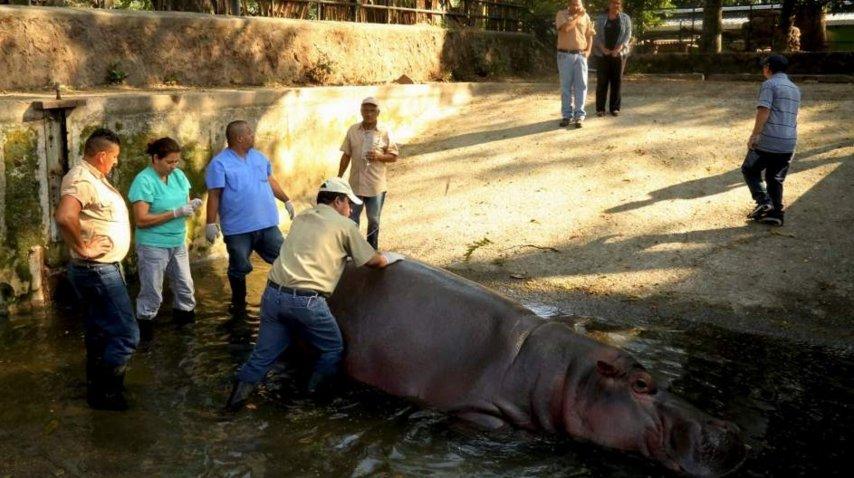 Mataron a golpes al único hipopótamo de El Salvador