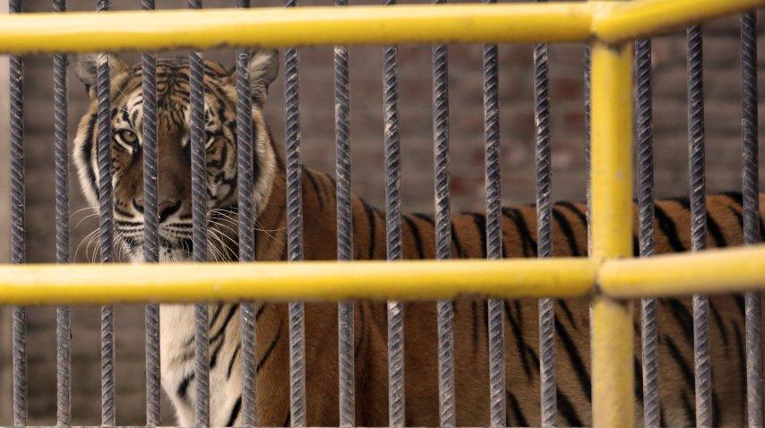 Trasladan a Estados Unidos tigres y leones de ex zoo provincial