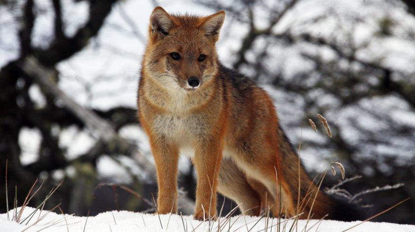 Uno de los zorros protegidos de Karukinka