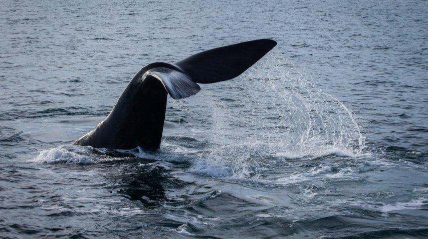 Las ballenas suelen ser el mayor atractivo, pero la gastronomía no se queda atrás<br>